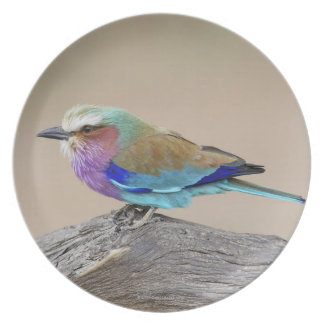 Rodillo de la Lila-breasted (caudata del Coracias) Plato Para Fiesta