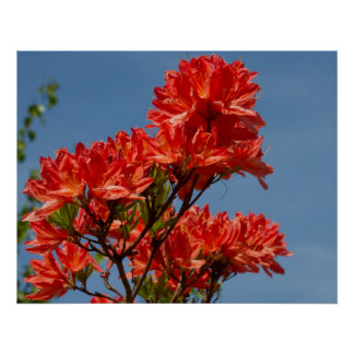 """Rododendro anaranjado "" Posters"