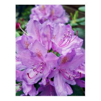 Rododendro de color de malva tarjetas postales