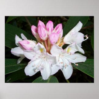 Rododendro de Virginia Posters