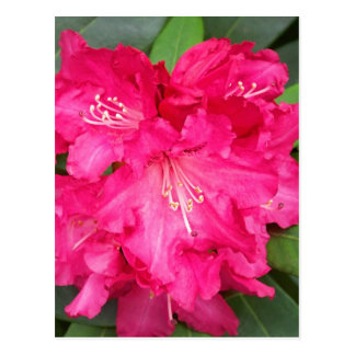 Rododendro en rosa postal