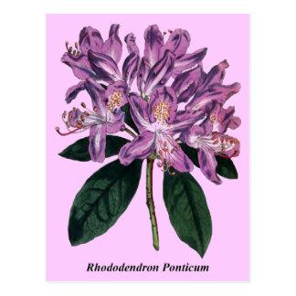 Rododendro Ponticum Tarjeta Postal