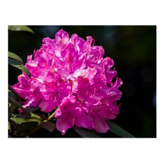 Rododendro púrpura postal