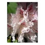 Rododendro rosado 2 postal