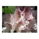 Rododendro rosado 2 tarjeta postal