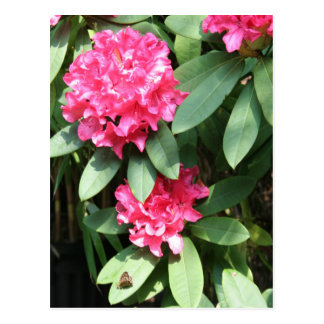 Rododendro Postales