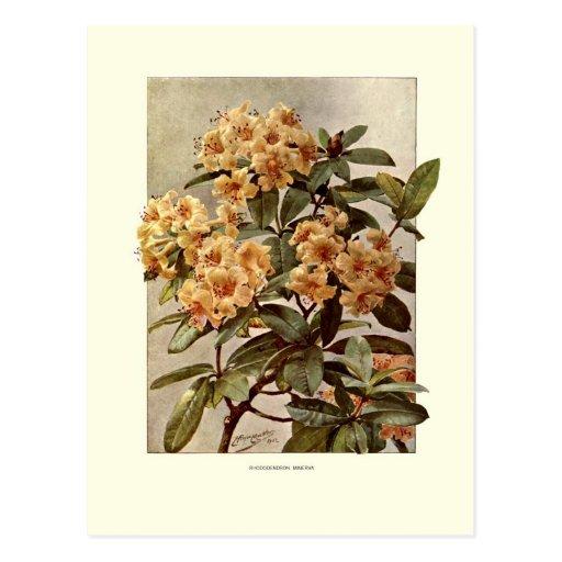 Rododendro var Minerva Tarjetas Postales