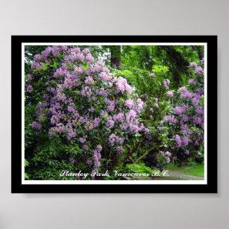 Rododendros púrpuras - Vancouver A.C. Posters