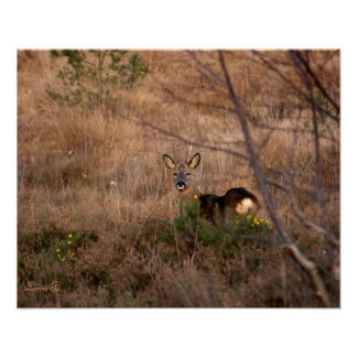 Roe Deer Poster