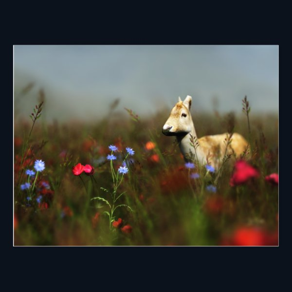 Roe in a Meadow Postcard