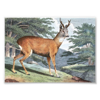 Roebuck Deer Art Photo