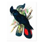 Rojo atado, Cockatoos. negros (de Banksian) Postal