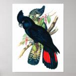 Rojo atado, Cockatoos. negros (de Banksian) Poster