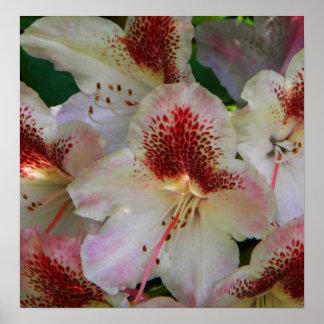 Rojo blanco 1 de los rododendros n poster