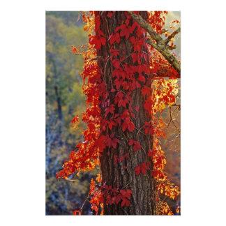 Rojo brillante de la enredadera de Virginia en oto Cojinete