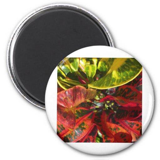 Rojo del Croton Imán De Nevera