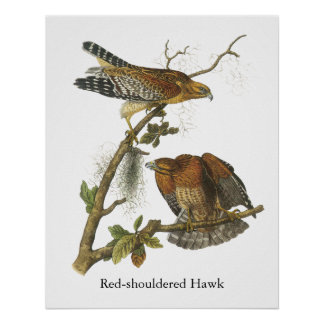 Rojo-llevó a hombros el halcón, Juan Audubon Impresiones
