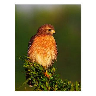 Rojo-llevó a hombros el halcón (lineatus del Buteo Postal