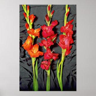 Rojo, naranja y flores del gladiolo del escarlata póster