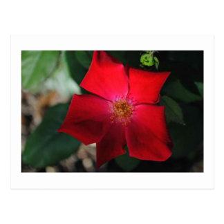 Rojo rojo de la flor/de Flor Tarjeta Postal