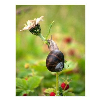 Roman Snail Climbing White Zinnia Postcard