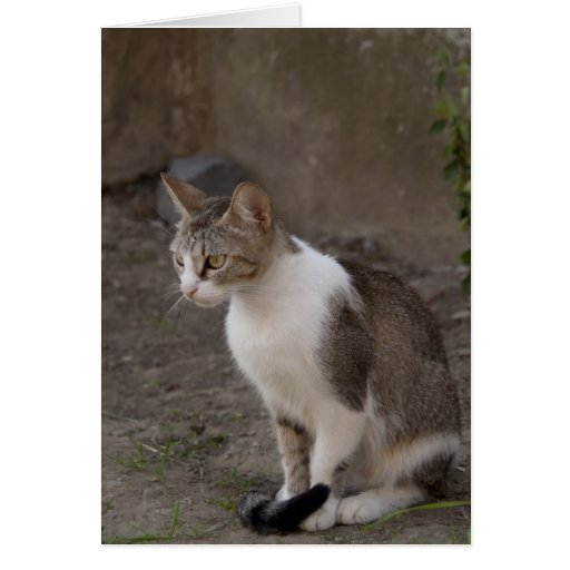 Romania, Transylvania, Sighisoara. Pet cat. Greeting Card