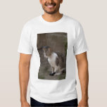 Romania, Transylvania, Sighisoara. Pet cat. Shirt