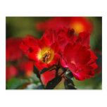 Romantic rose and meaning postcard