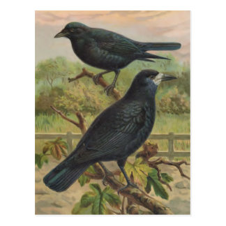 Rooks Vintage Bird Illustration Postcard