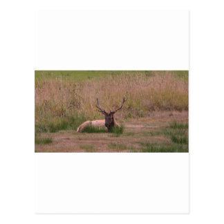 Roosevelt Bull Elk Postcard