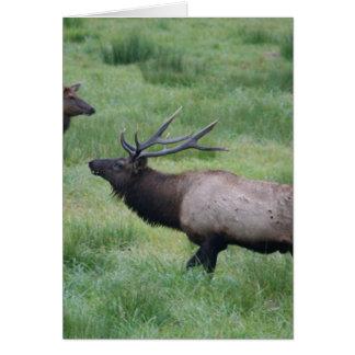 Roosevelt Elk in Oregon Greeting Card