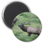 Roosevelt Elk in Oregon Fridge Magnets