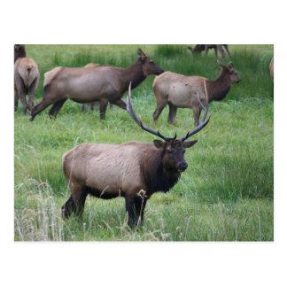 Roosevelt Elk in Oregon Postcard