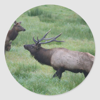 Roosevelt Elk in Oregon Classic Round Sticker