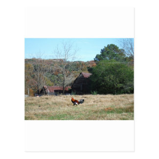 Rooster at the Farm Photo by Sandy Closs. Postcard