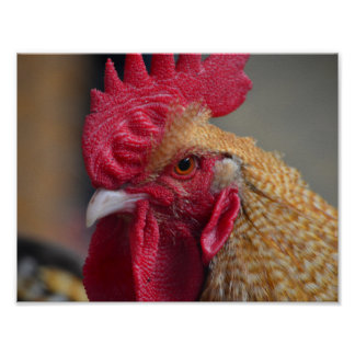 Rooster Chicken Poster