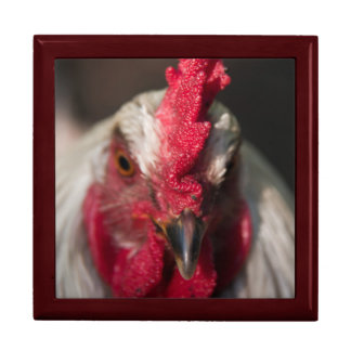 Rooster close up portrait gift boxes