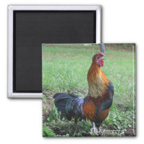 Rooster Crowing Nature Photo Magnet