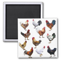 Roosters collage color chicken magnet