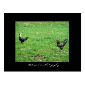 Roosters - Postcard