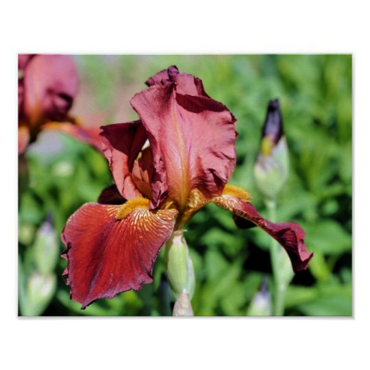 Root Beer Bearded Iris Flower Poster