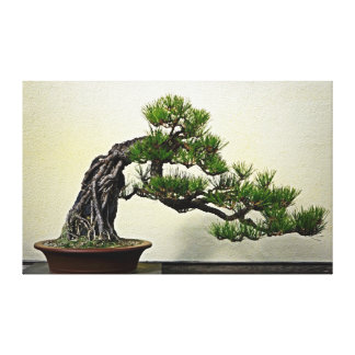 Root Over Rock Pine Bonsai Tree Gallery Wrapped Canvas
