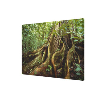 Roots and Trunk of Sloanea Tree Canvas Print
