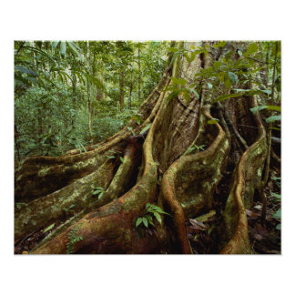 Roots and Trunk of Sloanea Tree Poster