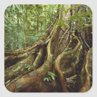 Roots and Trunk of Sloanea Tree Square Sticker