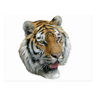 Ropa y regalos principales del tigre tarjeta postal