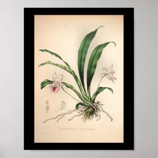 Rosa 1860 del estampado de flores de la orquídea póster