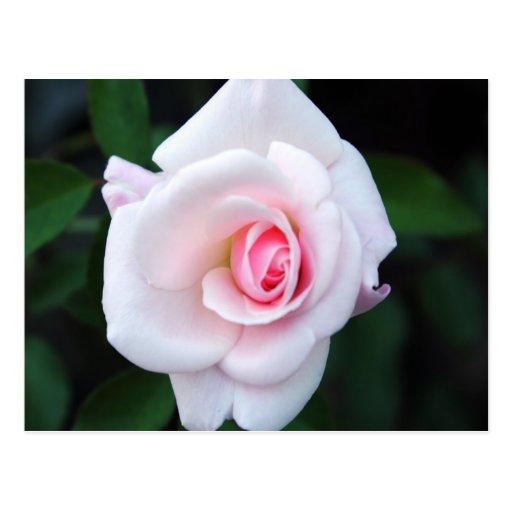 rosa abierto para el amor postales