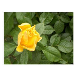 Rosa amarillo con las hojas verdes postal