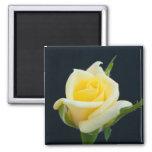 Rosa amarillo en el fondo negro imán cuadrado